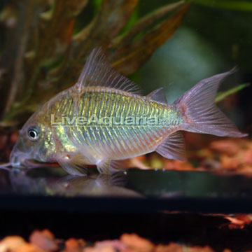 Emerald Green Cory Cat