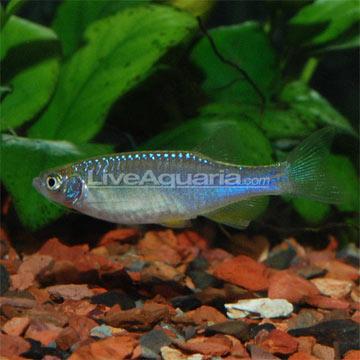 Tropical freshwater aquarium fish turquoise danio minnow for Danio fish care
