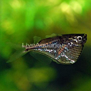 Tropical Fish for Freshwater Aquariums: Marthae Silver Hatchetfish