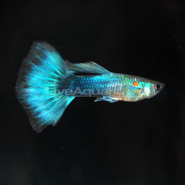 Neon Blue Tux Guppy