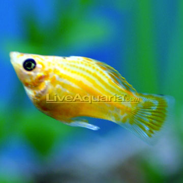 Tropical fish for freshwater aquariums balloon molly for Molly fish food