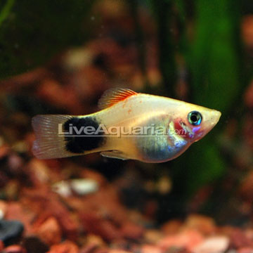 Assorted Mickey Mouse Platy