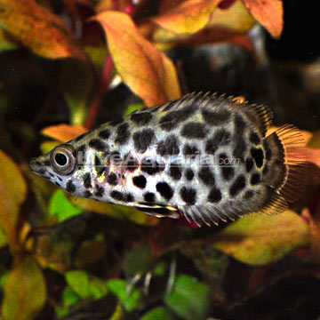 Leopard Fish Freshwater in addition Big Fish Tank 1 moreover File Aquarium3 also Discus Fish together with White African Cichlid. on oscar fish large