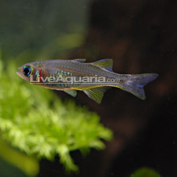 Home > Freshwater Fish > Rainbowfish > Celebes Rainbow