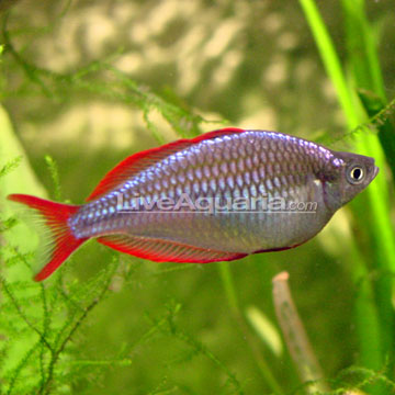 Tropical fish for freshwater aquariums praecox rainbow for Dwarf rainbow fish