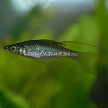 Threadfin Rainbow