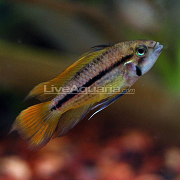 Assorted Apistogramma