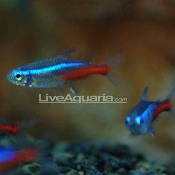 Tropical fish for freshwater aquariums neon tetra jumbo for Neon aquarium