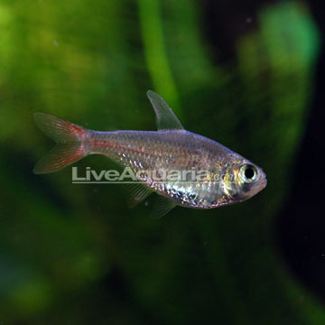 Red/Blue Columbian Tetra