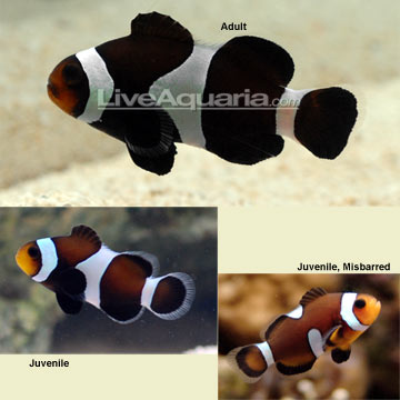 black and white oc clown fish 3reef aquarium forums