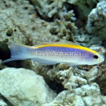 Pseudochromis flavivertex for Semi aggressive fish