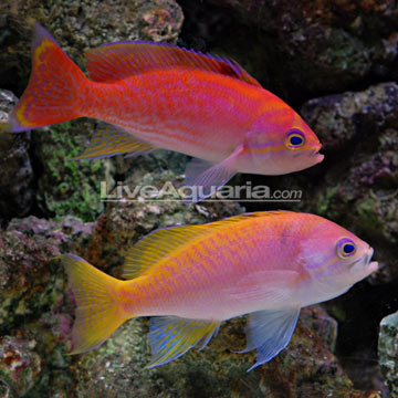 Bimaculatus Anthias