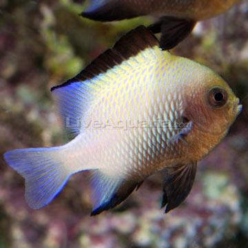دامسل حاشیه دار ( marginated damsel fish )