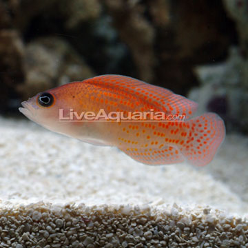 Red dottyback exotics fish loricula flame pygmy angel for Red saltwater fish