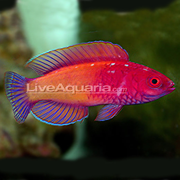 ... velvet wrasse المرادفات blue sided fairy w