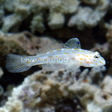 Latest Pictures of Cave transparent goby