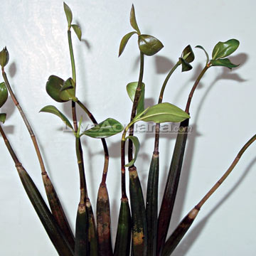 http://www.liveaquaria.com/images/categories/product/p-90185-red-mangrove-propa.jpg