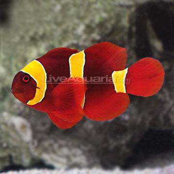 Saltwater aquarium corals for marine reef aquariums gold for Clown fish size