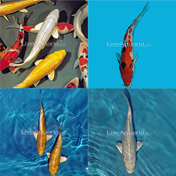 Imported koi pack for Imported koi fish
