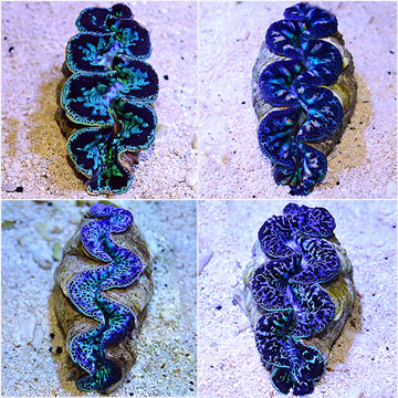 Maxima Clam Super Color, (Tahiti)