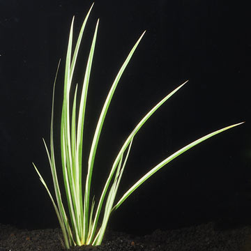 Variegated Japanese Dwarf Rush