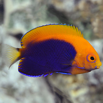 Flameback Angelfish