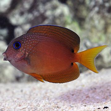 Saltwater aquarium fish for marine aquariums two spot for Tang saltwater fish