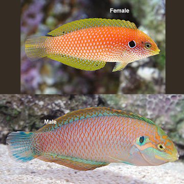 Kuiter's Leopard Wrasse EXPERT ONLY