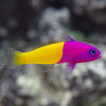 Saltwater aquarium fish for marine aquariums blue eye for Blue saltwater fish