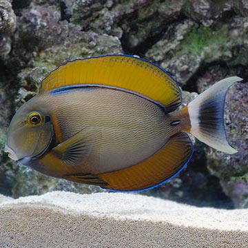 Saltwater aquarium fish for marine aquariums black spot tang for Tang saltwater fish