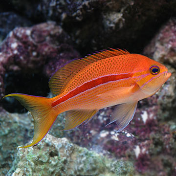 Red Striped Anthias