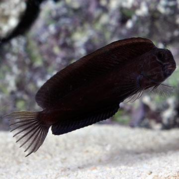 Black Combtooth Blenny