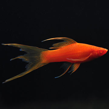 Hi Fin Lyretail Swordtail, Blood Red