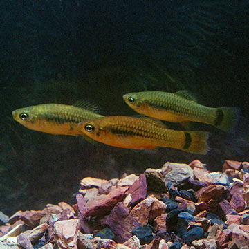 Tropical fish for freshwater aquariums feeder platies for Live feeder fish