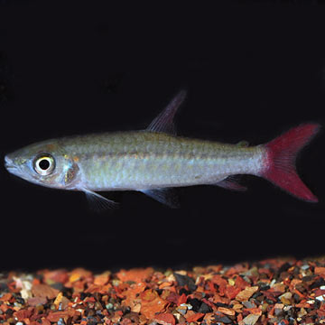 Pinktail Chalceus