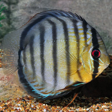 Green Discus, Wild (Tefe)