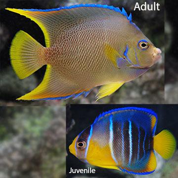 Saltwater aquarium fish for marine aquariums blue angelfish for Blue saltwater fish