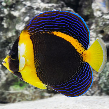 Saltwater aquarium fish for marine aquariums scribbled for Fish compatible with angelfish
