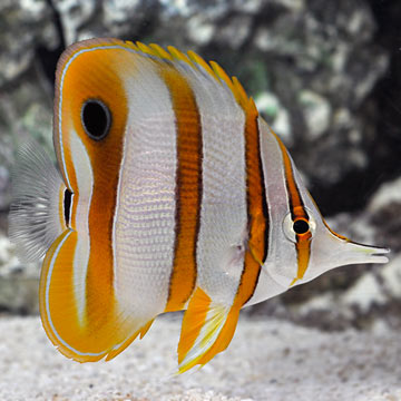 Saltwater aquarium fish for marine aquariums copperband for Butterfly fish freshwater