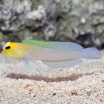 Jawfish, Yellowhead