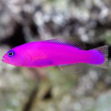 Purple saltwater fish images for Purple freshwater fish
