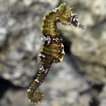 Lined Seahorse - Captive-Bred