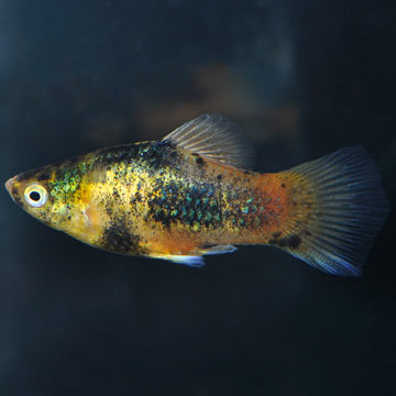 Dalmation Red Tail Platy