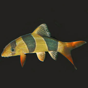 Tropical fish for freshwater aquariums clown loach for Freshwater clown fish