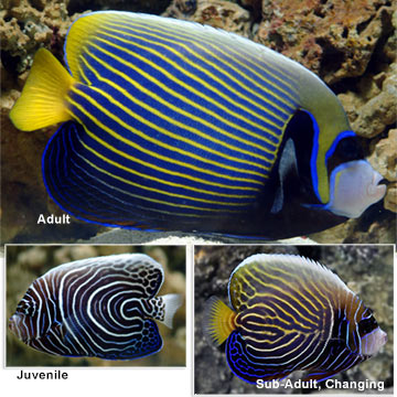 Saltwater aquarium fish for marine aquariums emperor for Fish compatible with angelfish
