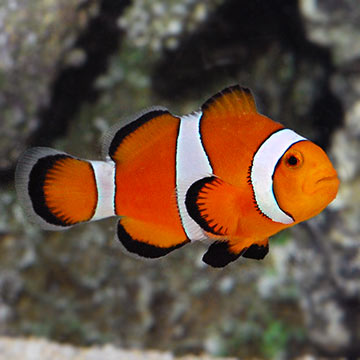 Amazing animals 13 the clown fish steemit for Closest fish store
