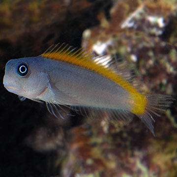Blue & Gold Blenny