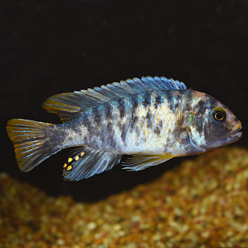 Fuelleborni Cichlid, Orange Blossom