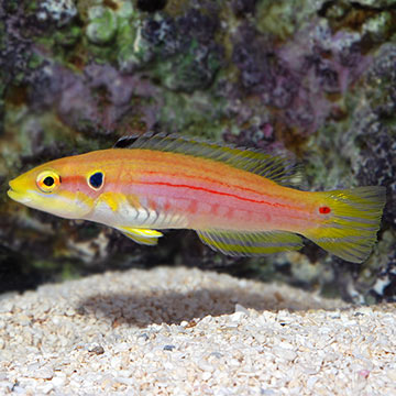 Yellow Candy Hogfish
