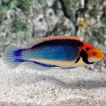 Red Head Solon Fairy Wrasse